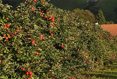 Äpfel ab Hof